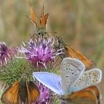 Weiterführende Informationen zu Schmetterlingen