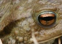 Erdkröte (Iris und Ohrdrüse)