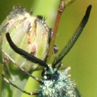Grünwidderchen (Männchen, mit gekämmten Fühlern)