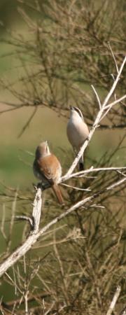 Neuntöterpaar (Männchen oben, Weibchen unten)