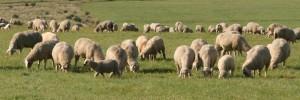 Schafbeweidung
