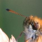 Schwarzkolbiger Braun-Dickkopffalter (Fühlerspitze: auf der Unterseite schwarz)