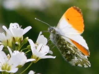 Aurorafalter (Männchen)