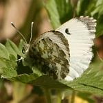 Aurorafalter (Weibchen)