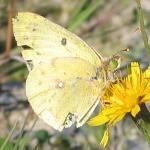 Weißklee-Gelbling