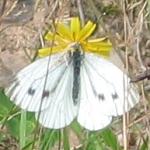 Grünader-Weißling (Weibchen)
