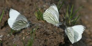 Grünader-Weißlinge (Männchen)
