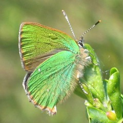 gruener-zipfelfalter-1