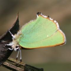 gruener-zipfelfalter-2