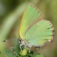 gruener-zipfelfalter-3