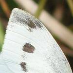 Kleiner Kohlweißling (Spitzenfleck am Vorderflügel)