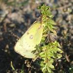 Weißklee-Gelblinge (Paarung)